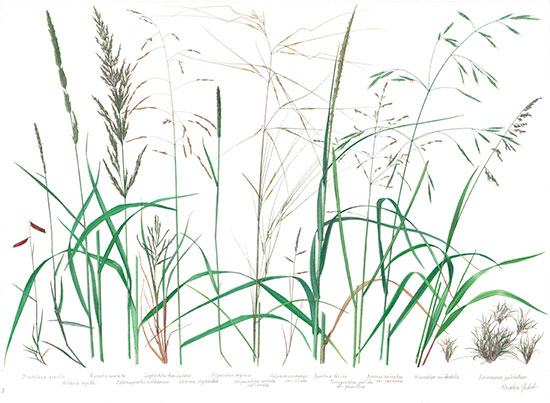 Grass Poster Native 3