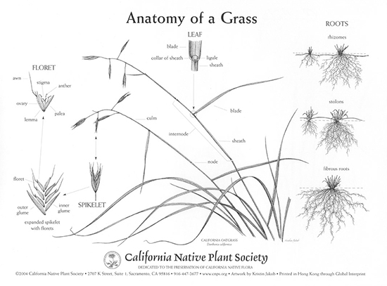 Grass Poster backside Anatomy of a GrassGrass