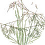 California Native Grasses-1