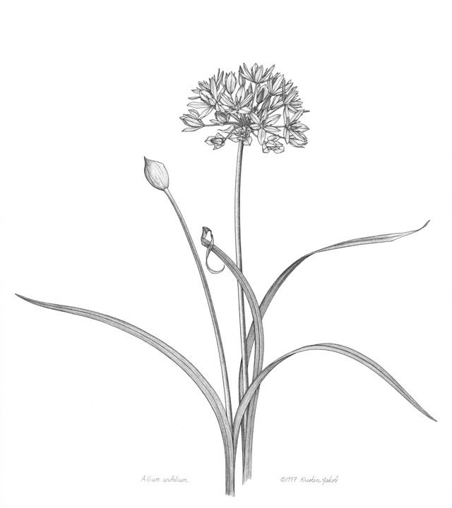 Allium-unifolium-line-drawing