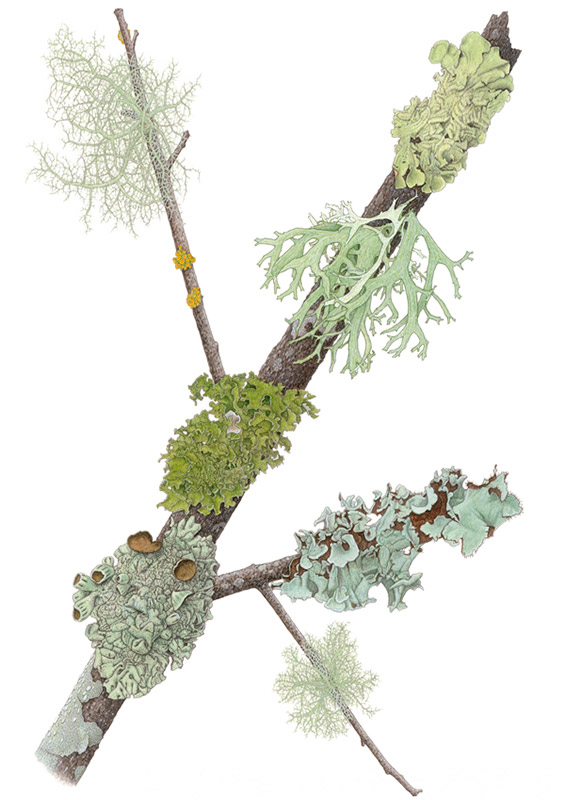 Mill-Valley-Lichens